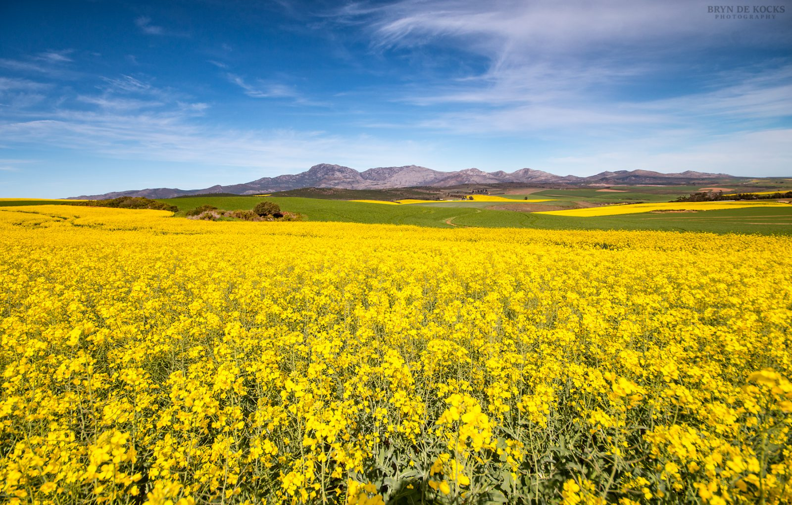 Canola Fields Overberg