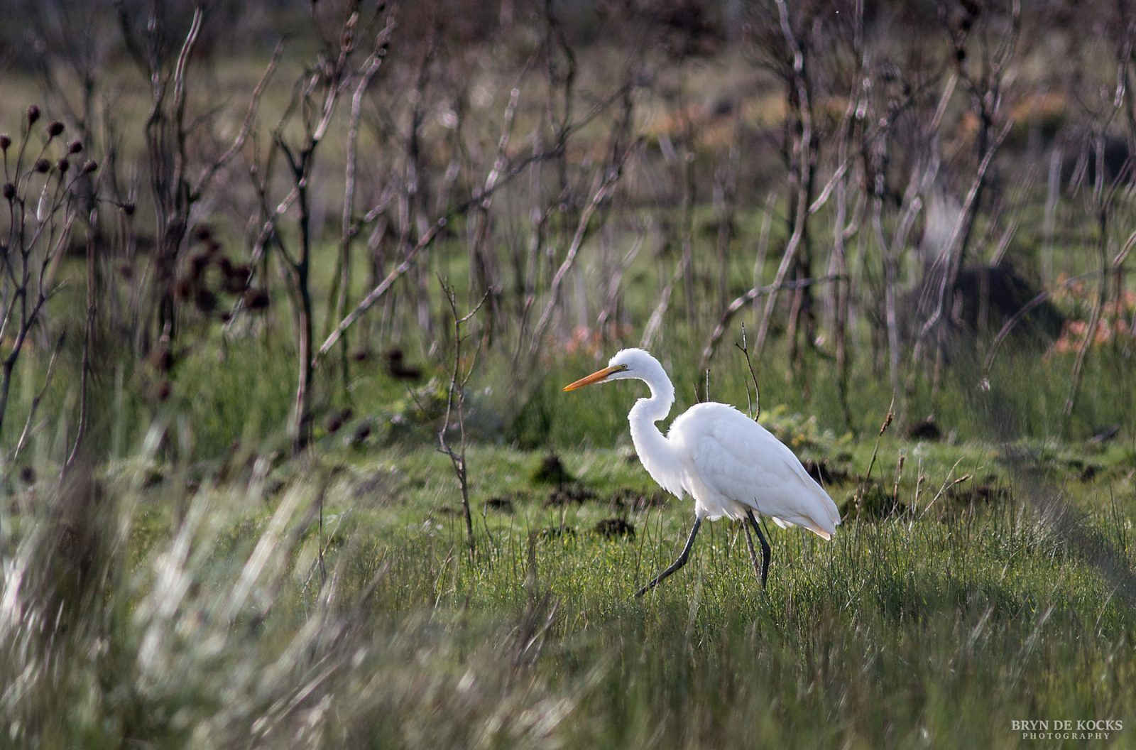 Great Egret Rooiels