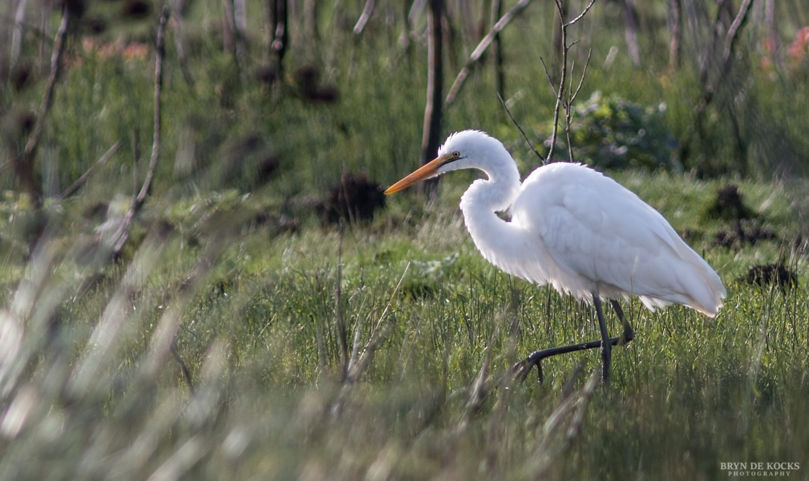 Great Egret Western Cape