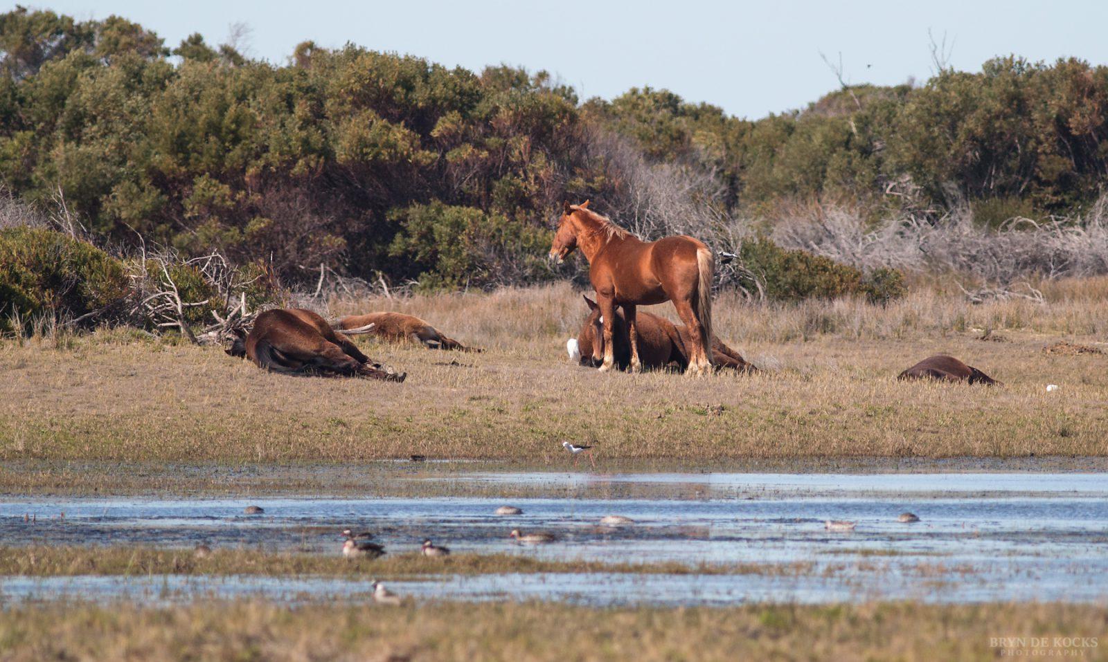 Kleinmond Horses