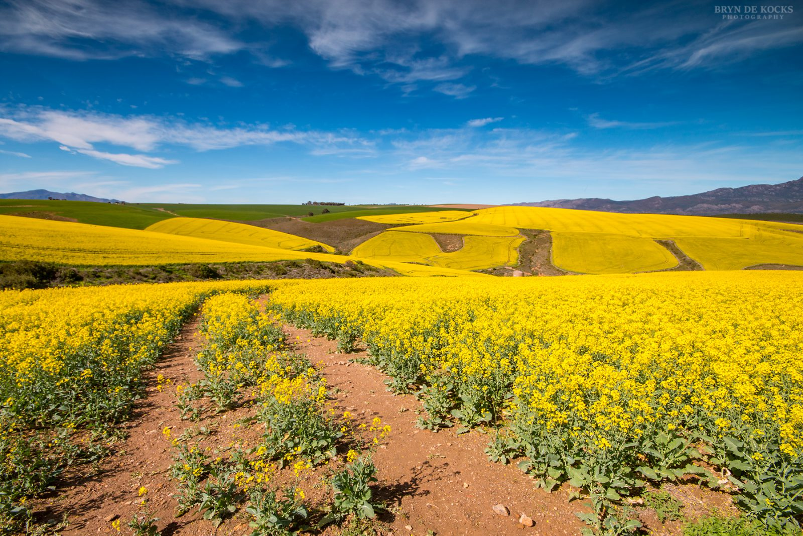 Overberg Canola Fields