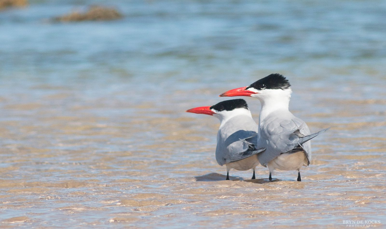 Caspian Terns at Cape Recife