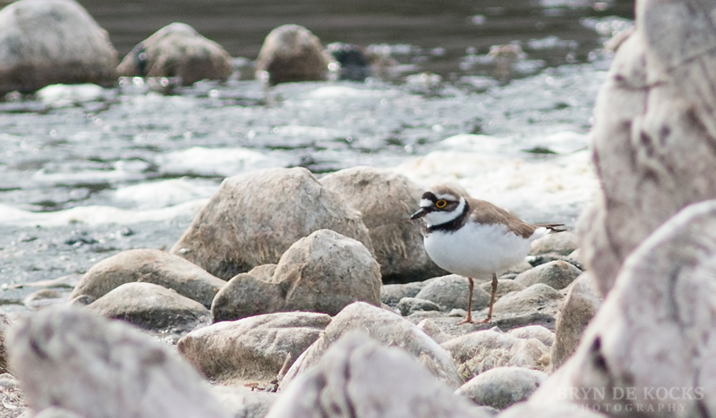 little ringed plover at vermont salt pan
