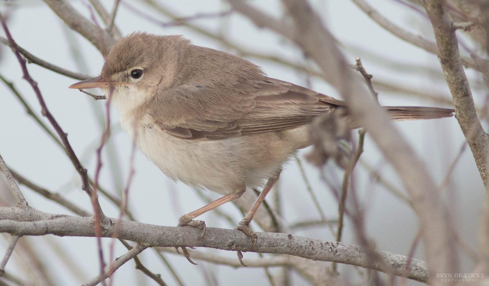 tankatara-warbler