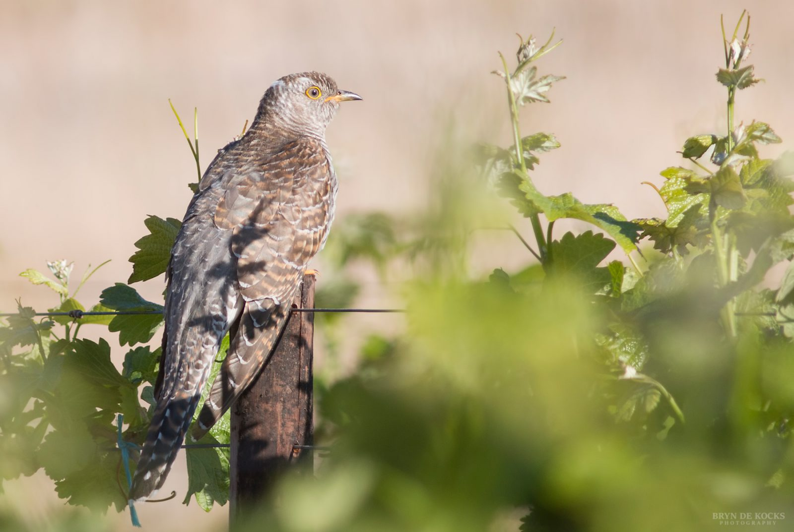 Common Cuckoo western cape