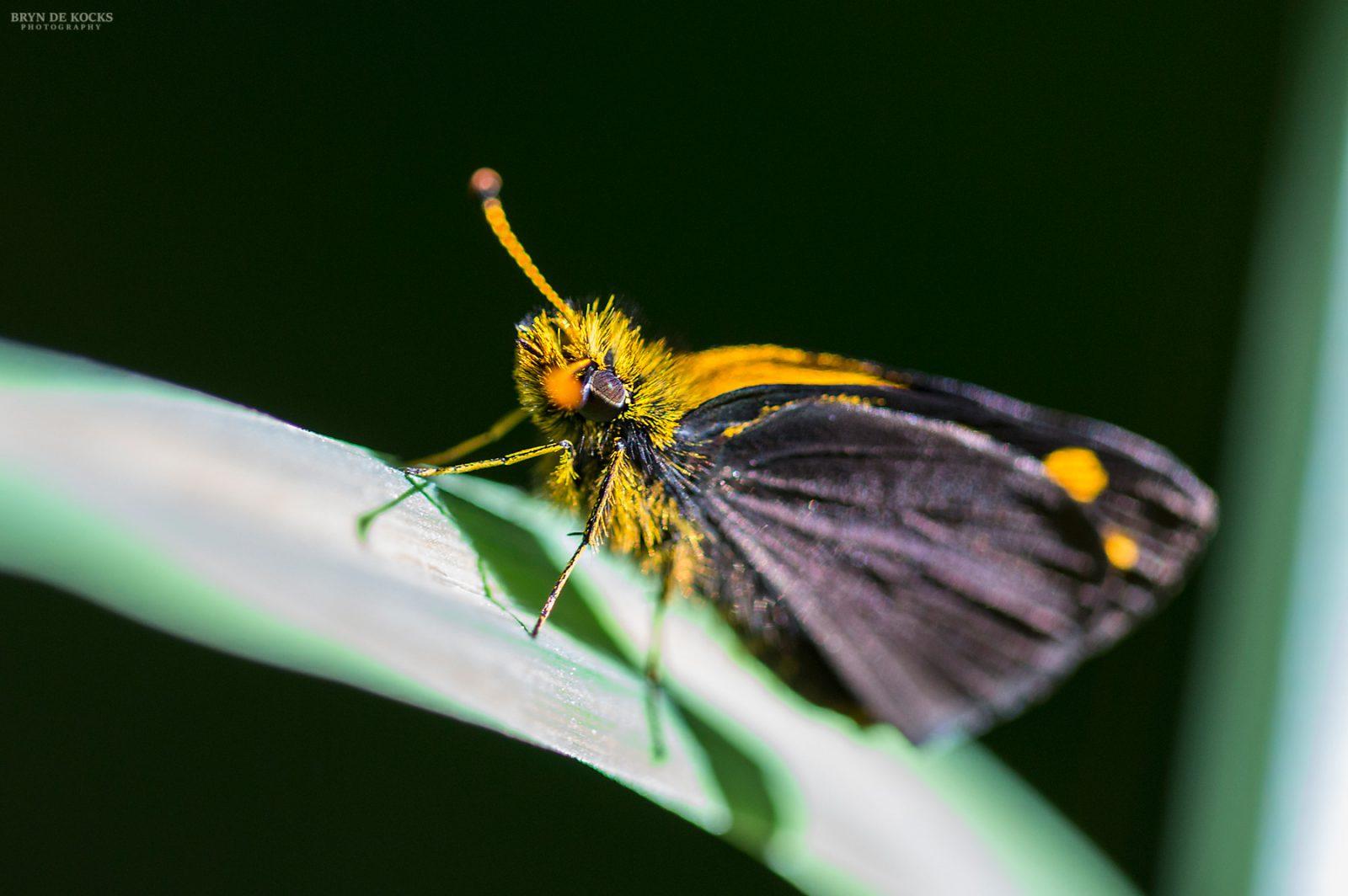 butterfly-orange