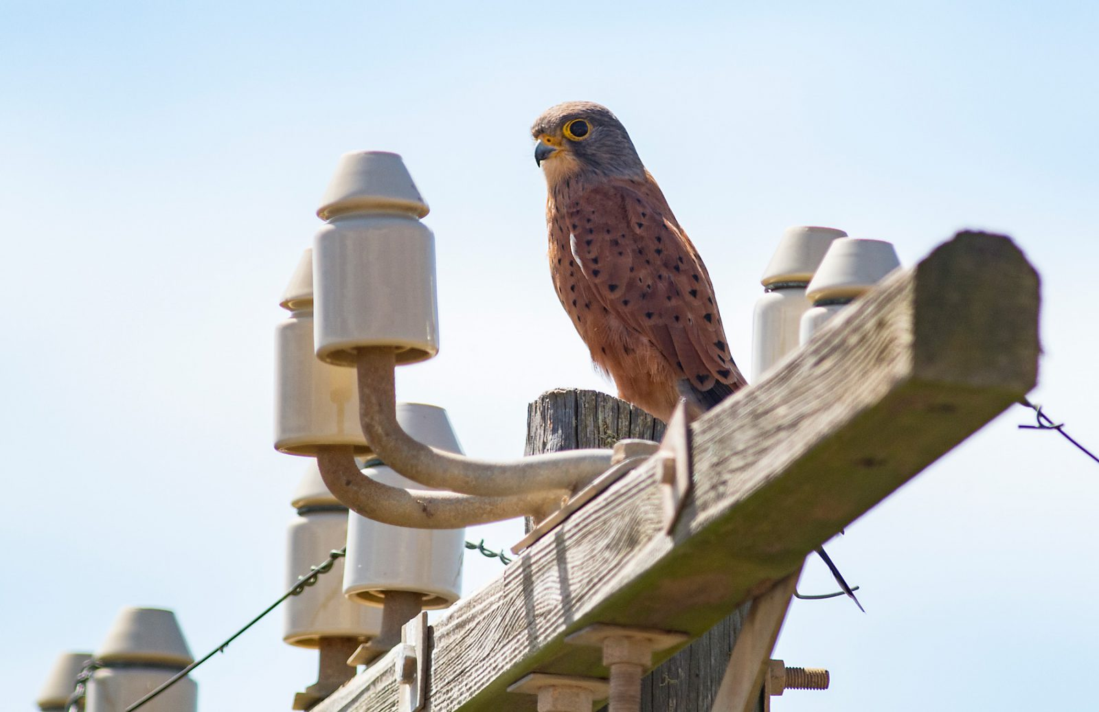 rock-kestrel