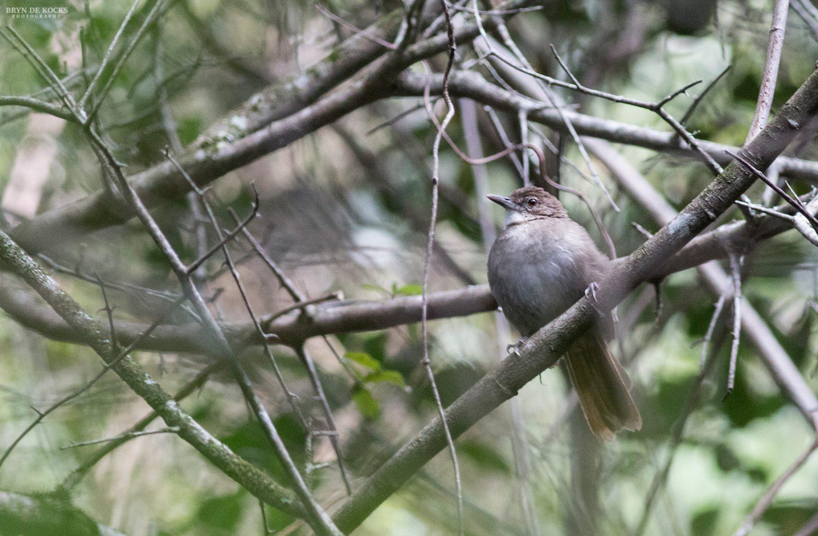 terrestrial-brownbul