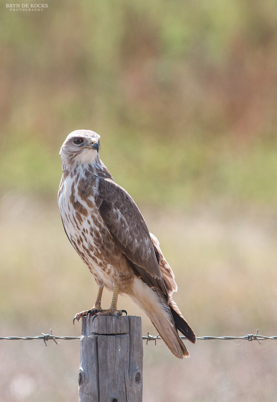 young-steppe-buzzard