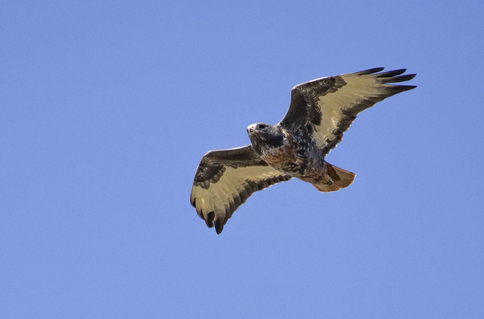 jackal buzzard adult